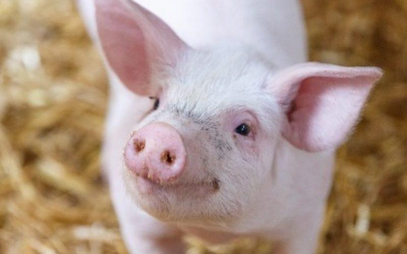 GELEC Energy équipe une maternité porcine d'un groupe électrogène 90 kVA !